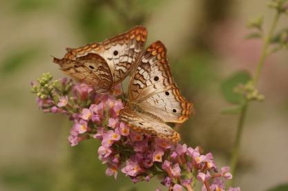 butterfliesx2.jpg