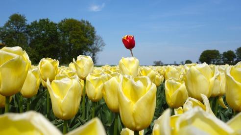 tulips-2580116_1920